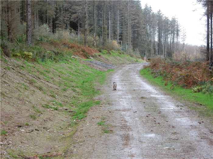 The bank over the buried pipeline recovers well in Coedydd Aber 1 20 November 2015